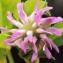 Liliane Roubaudi - Trifolium resupinatum L. [1753]