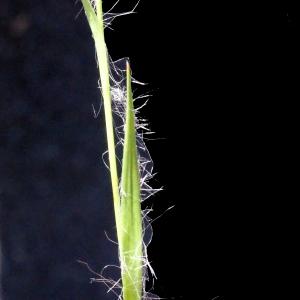 Photographie n°301653 du taxon Luzula forsteri (Sm.) DC.