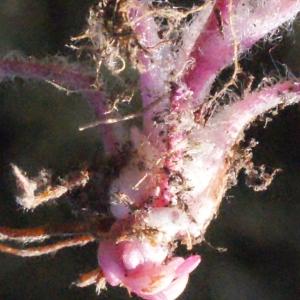 Photographie n°301660 du taxon Saxifraga granulata L.