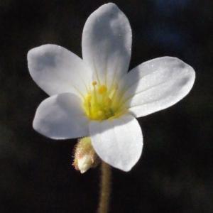 Photographie n°301663 du taxon Saxifraga granulata L.
