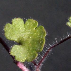 Photographie n°301666 du taxon Saxifraga granulata L.