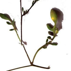 Photographie n°301795 du taxon Hymenolobus procumbens (L.) Nutt. ex Schinz & Thell. [1921]