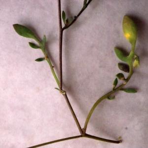 Photographie n°301796 du taxon Hymenolobus procumbens (L.) Nutt. ex Schinz & Thell. [1921]