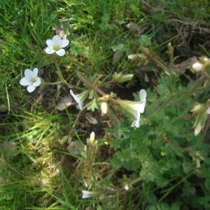 Photographie n°302042 du taxon Saxifraga granulata L.