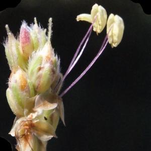 Plantago albicans L. (Plantain blanchissant)