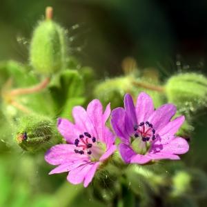 - Geranium molle L.