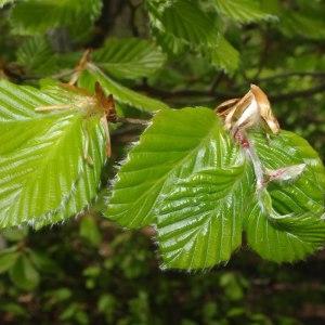Photographie n°303027 du taxon Fagus sylvatica L.