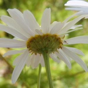 Photographie n°303346 du taxon Tripleurospermum inodorum (L.) Sch.Bip. [1844]