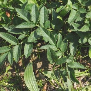 Photographie n°303445 du taxon Angelica sylvestris L. [1753]