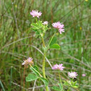 - Trifolium resupinatum L. [1753]