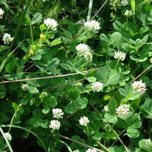 - Trifolium nigrescens Viv.