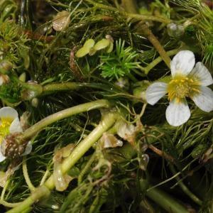 Photographie n°303864 du taxon Ranunculus peltatus subsp. baudotii (Godr.) Meikle ex C.D.K.Cook [1984]