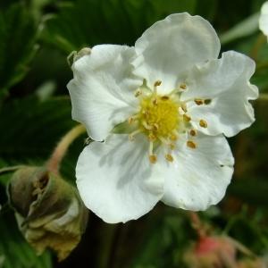 - Fragaria viridis Duchesne