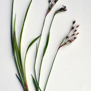 Photographie n°304110 du taxon Luzula forsteri (Sm.) DC.