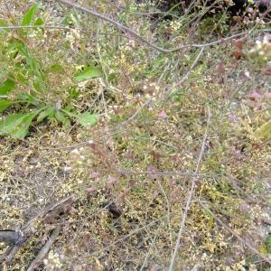 Photographie n°304152 du taxon Capsella rubella Reut. [1854]