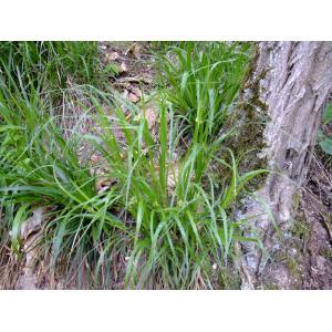 Luzula luzuloides (Lam.) Dandy & Wilmott (Luzule blanchâtre)