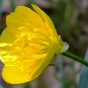 Photographie n°304288 du taxon Ranunculus bulbosus L. [1753]