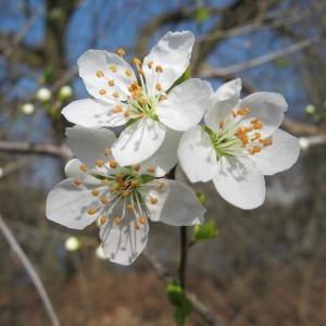 Photographie n°304423 du taxon Prunus cerasifera