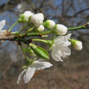 Photographie n°304424 du taxon Prunus cerasifera