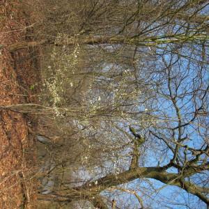 Photographie n°304426 du taxon Prunus cerasifera