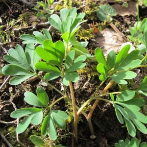 - Corydalis intermedia (L.) Mérat [1812]