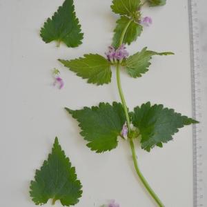 Photographie n°304554 du taxon Lamium maculatum (L.) L. [1763]