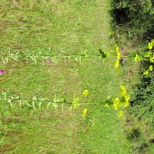 Photographie n°304621 du taxon Euphorbia biumbellata