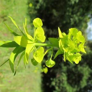 Photographie n°304622 du taxon Euphorbia biumbellata