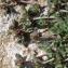 Liliane Roubaudi - Trifolium scabrum L. [1753]