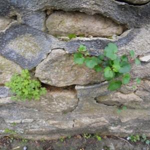 Photographie n°304707 du taxon Cymbalaire des murailles