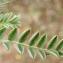 Liliane Roubaudi - Astragalus sesameus L. [1753]