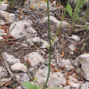 Photographie n°305163 du taxon Hypochaeris achyrophorus L.