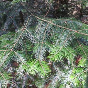 Photographie n°305202 du taxon Abies grandis (Douglas ex D.Don) Lindl. [1833]