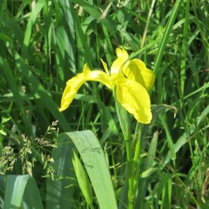 Photographie n°305263 du taxon Iris pseudacorus L. [1753]