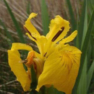 Photographie n°305281 du taxon Iris pseudacorus L. [1753]