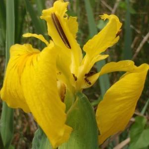 Photographie n°305282 du taxon Iris pseudacorus L. [1753]
