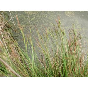 Carex elata All. subsp. elata (Laiche élevée)