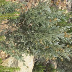 Photographie n°305363 du taxon Anthyllis barba-jovis