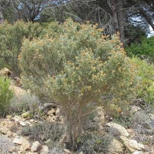 Photographie n°305364 du taxon Anthyllis barba-jovis
