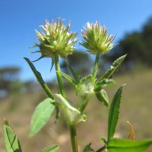 Photographie n°305413 du taxon Trifolium strictum