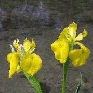 Photographie n°305466 du taxon Iris pseudacorus L. [1753]