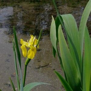 Photographie n°305467 du taxon Iris pseudacorus L. [1753]