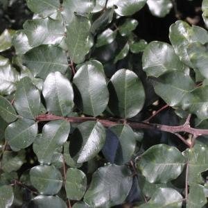 Photographie n°305559 du taxon Ceratonia siliqua L.