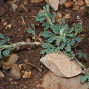 Photographie n°305600 du taxon Trigonella gladiata Steven ex M.Bieb. [1808]
