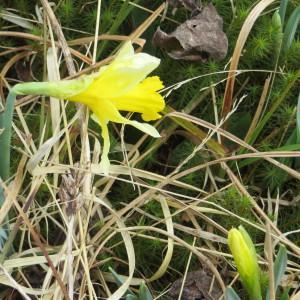 Photographie n°305602 du taxon Narcissus pseudonarcissus L. [1753]