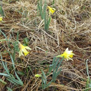 Photographie n°305603 du taxon Narcissus pseudonarcissus L. [1753]