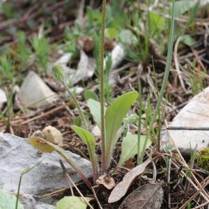 Photographie n°305614 du taxon Crepis sancta (L.) Bornm. [1913]