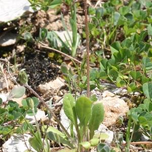Photographie n°305620 du taxon Crepis sancta (L.) Bornm. [1913]
