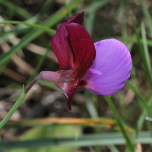 Lathyrus clymenum L. [1753] (Gesse climène)