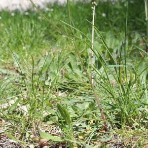 Photographie n°305653 du taxon Crepis sancta (L.) Bornm. [1913]